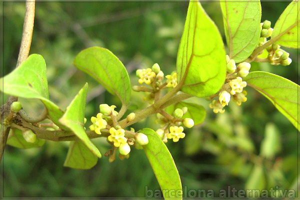 GYMNEMA SYLVESTRIS CONTRA LA DIABETES