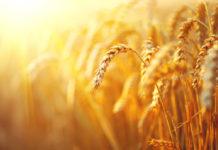 La parábola del Desafío del trigo